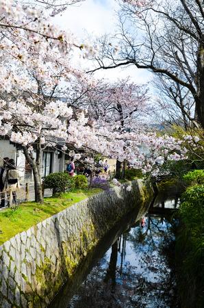 Cherry Blossoms on Philosophers Walk, or Tetsugaku-no-Michi, Kyoto, Japan