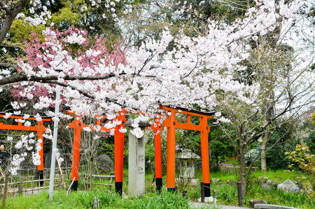 Cherry blossoms and Torii Gate in Hirano Jinja at the Shrine, Kyoto, Japan
