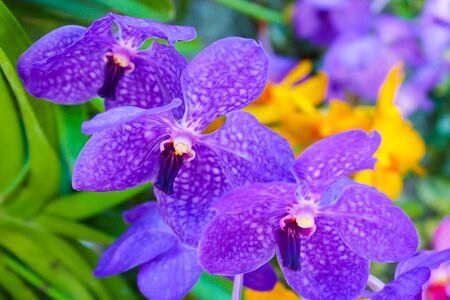 purple orchid: Purple orchid in flowers garden