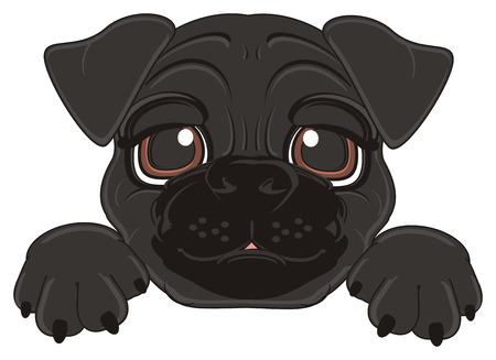 black face of pug with paws