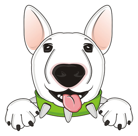 cute snout of bull terrier show his tongue
