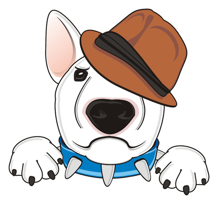 angry snout of white bull terrier in brown hat