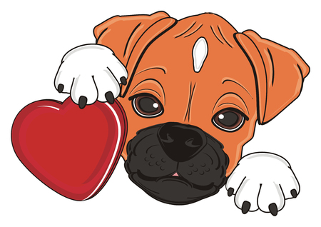 muzzle of boxer dog hold a red heart