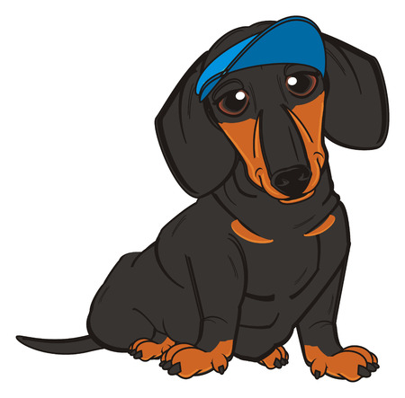 barking: dachshund in blue cap sit Stock Photo