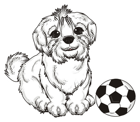 Maltese lapdog sit with soccer ball