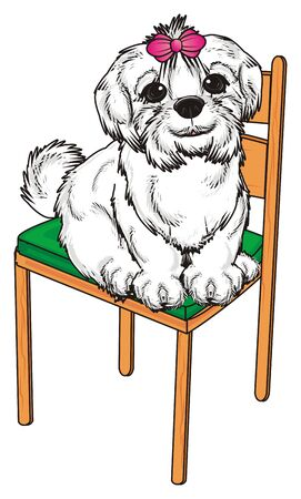 lapdog: Maltese lapdog sit top on the chair