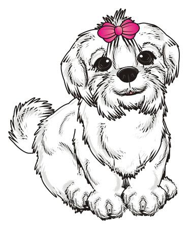 lapdog: Maltese lapdog sit