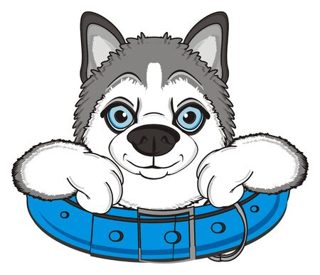 muzzle of gray husky peek up from large blue collar Stock Photo