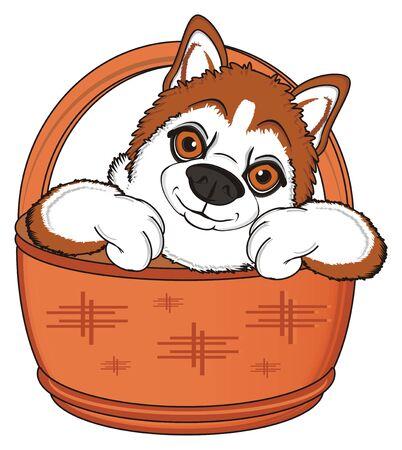 orange muzzle of husky peek up from wooden basket Stock Photo
