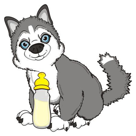 gray husky sit with bottle og milk Stock Photo