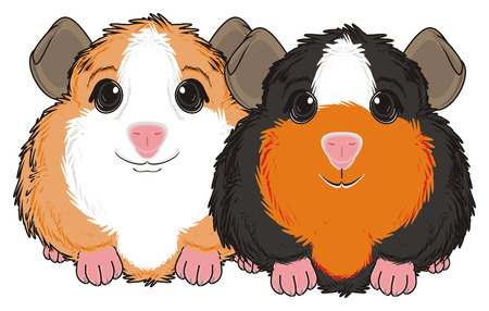 guinea pig: two guinea pigs sit