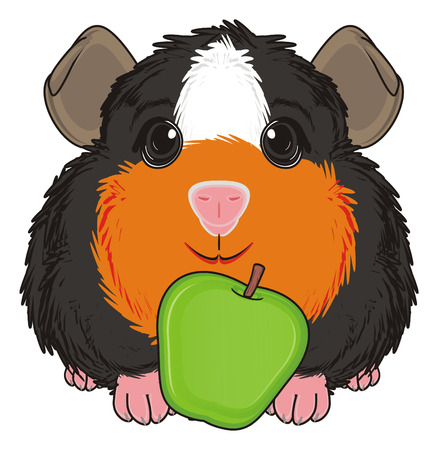 guinea pig: guinea pig sit with green apple Stock Photo