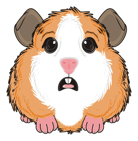 guinea pig: guinea pig sit with opened mouth Stock Photo