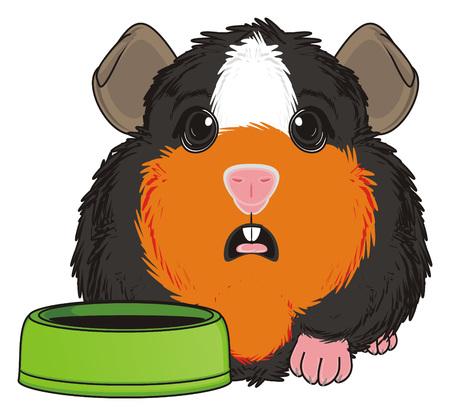 guinea pig: surprise guinea pig sit near an empty bowl