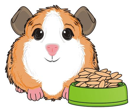 guinea pig: guinea pig sit nea the bowl with grane