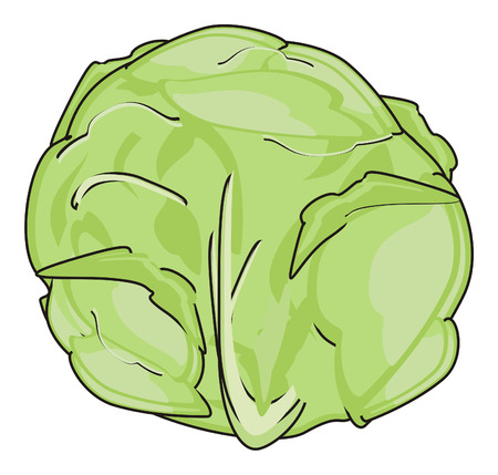 one green cabbage