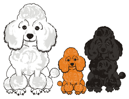 Three different poodls sits together Stock Photo