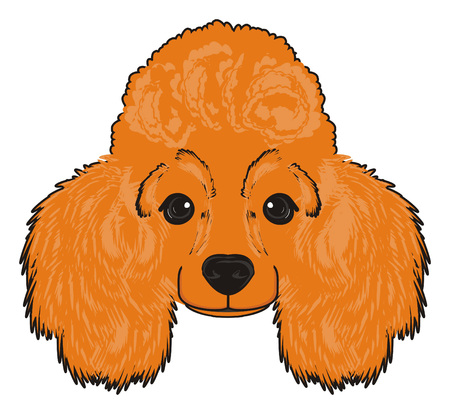 snout: Snout of orange poodle