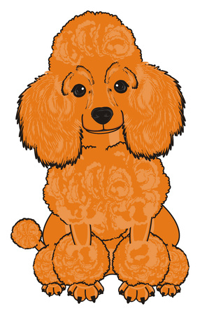 Orange poodle sit and watch Stock Photo