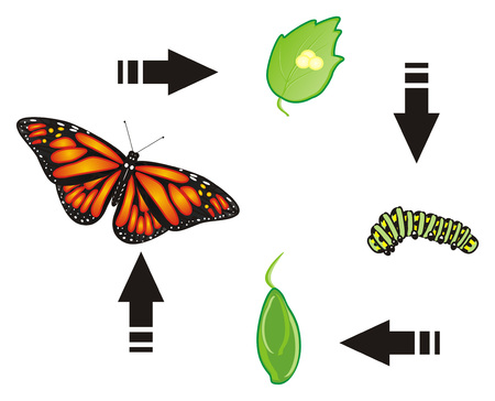multiple birth: Life cycle of butterfly