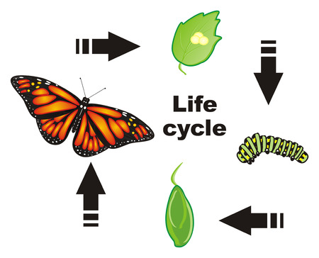 Vier cyclus van het vlinderleven