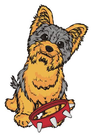 Yorkshire terrier sit with collar and want to walk Stock Photo