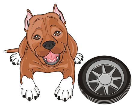 kind pitbull lying with black wheel