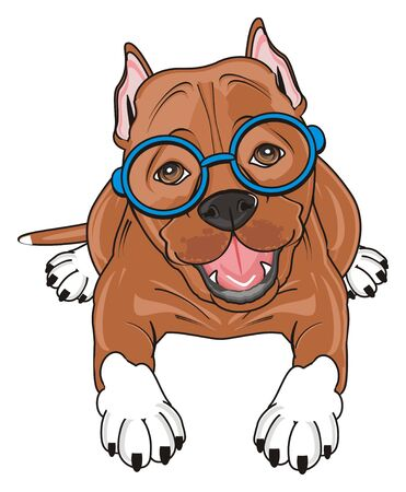 cute pitbull in the blue glasses lying Stock Photo
