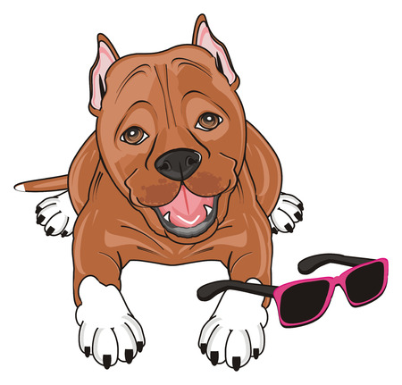 cute pitbull lying with pink and black sunglasses