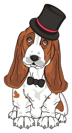 basset hound in black hat and black bow sit Stock Photo