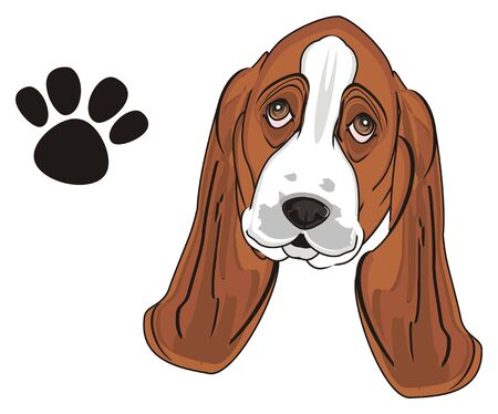 muzzle of basset hound and his footprint Stock Photo