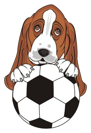 muzzle of basset hound peek up from soccer ball Stock Photo