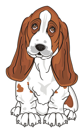 little cute basset hound
