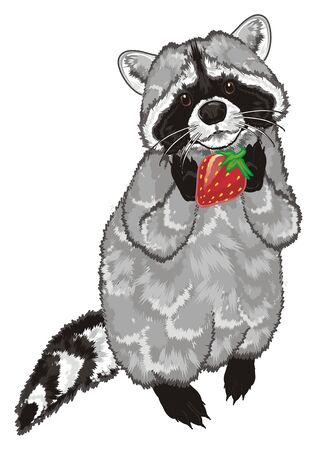 raccoon stand and hold a strawberry Stock Photo