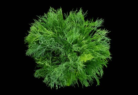 Dill herb closeup isolated on black background Stock Photo