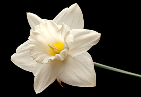 Narcissus flower head isolated on black background