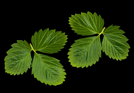 Strawberry leaf closeup isolated on black background Stok Fotoğraf