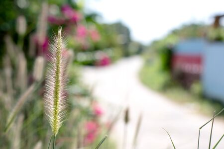 side of the road: grass, grass flower on the side road, on blurred style