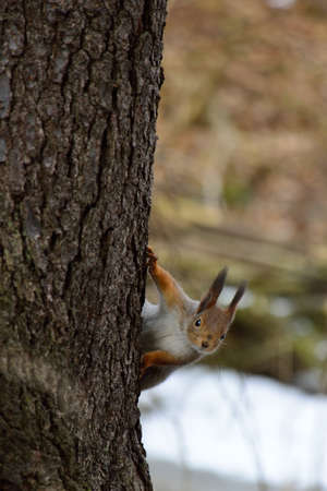 peaking: Cute squirrel peaking behind a tree