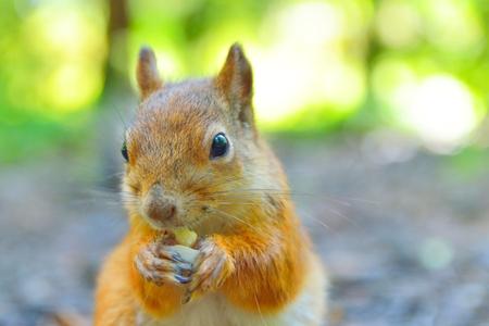 pelo castaño claro: Primer plano de una ardilla linda que come una tuerca. Foto de archivo