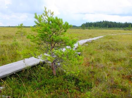 duckboards: Duckboards at Torronsuo National Park, Finland