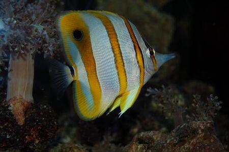 copperband butterflyfish: Chelmon rostratus