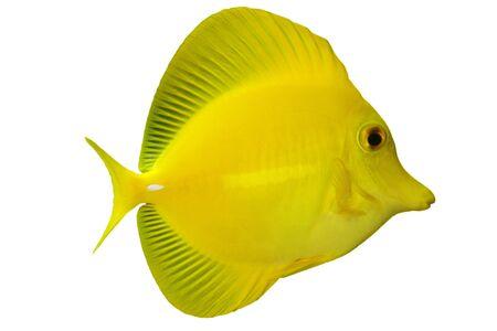 zebrasoma: Tropical Fish Zebrasoma flavescens isolated on white