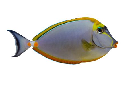 Tropical Fish Naso Tang Elegans isolated on white Stock Photo - 2067798