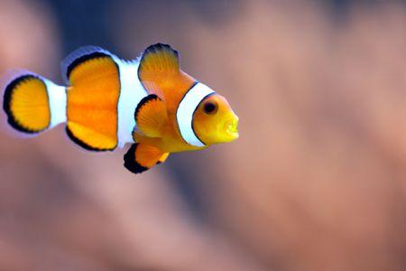 ocellaris: Clownfish