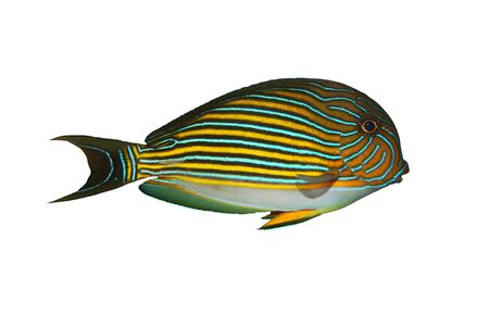 clown tang: Tropical Fish Acanthurus lineatus isolated on white