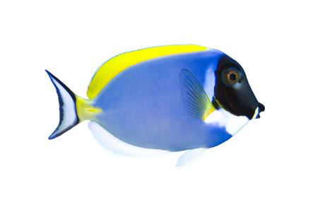 plunging: Tropical Fish Acanthurus leucosternon isolated on white