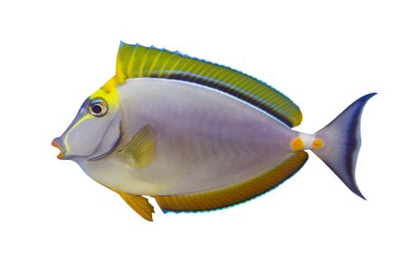 Tropical Fish Naso Tang Elegans isolated on white