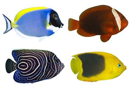 Cztery Tropical Fishes wyizolowanych na białym