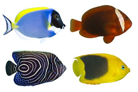 Four Tropical Fishes isolated on white Stock Photo
